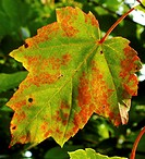 Close-up of a red maple tree (Acer rubrum) leaf, lobed, in autumn coloration, length 2 - 6 in. Red maple, also known as swamp maple, is a deciduous tr...
