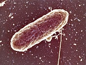 Scanning electron micrograph of Salmonella heidelberg, mag. 50,000x (at 3.75 x 5 in.). Infection with these pathogenic bacteria (which cause salmonell...