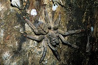 Macrophotograph of a hand-sized Trinidad chevron tarantula (Psalmopoeus cambridgei) on a rock face in the rainforest of Trinidad and Tobago, half life...