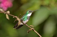 White-throated Hummingbird (Leucochloris albicollis). Misiones, Argentina