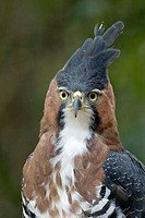 Ornate Hawk-Eagle (Spizaetus ornatus). Misiones, Argentina