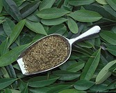 Yerba mate (Ilex paraguariensis) green tea in a scoop against a backdrop of freshly cut leaves. Yerbe mate, like other green teas, is used medicinally...