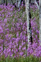 Canada, North America, America, Epilobium angustifolium, fire herb, Fireweed, flowers, Kluane Mountains, meadow, ros