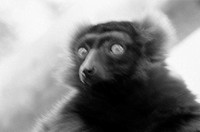 Blurred lemur