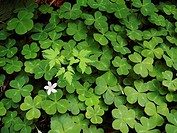 Clovers in Redwoods, Redwood National Park, California, USA