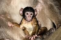 Baby. Barbary Macaque (Macaca sylvanus). La Montagne des Singes. Kintzheim. Alsace. France