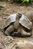 Galapagos Tortoise (Geochelone nigra chathamensis). Chatham island, Galapagos Islands. Ecuador