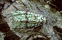 Moth merveille du jour (Dichonia aprilina) at rest on leaf. UK
