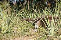 Giant Anteater (Myrmecophaga tridactyla), endangered species searching for ant and termite nests across savannah grasslands. Caiman Ecological Reserva...