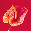Anthurium (thumbnail)