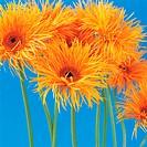 Spider gerbera daisies