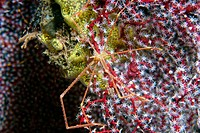 Spider crab, Chirostylus sp., on soft coral, Dumaguete, Negros, Philippines