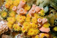 Orange cup coral, Tubastrea faulkneri, open and closed polyps, Gato Island, Cebu, Philippines