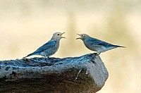 Bluebirds (Sialia sp.) arguing