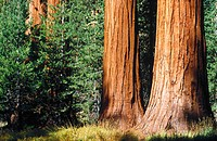 Sequoia trees, USA