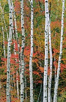 White birch trees in a forest with other trees in autumn with red colors