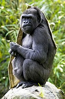 Gorilla (Gorilla gorilla), captive. Germany