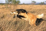 Maned Wolf (Chrysocyon brachyurus) leaping to pin down rodent in Cerrado grassland. Serra da Canastra National Park, Brazil