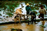 Men Ploughing with oxen, Rice Paddies , Central Highlands, Madagascar