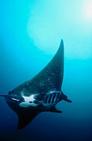 Manta ray (Manta birostris). Komodo National Park. Indonesia
