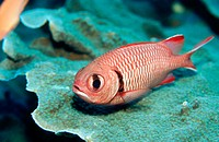 Red soldier fish (Myripristis murdjan). Komodo National Park. Indonesia