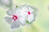 White Catharanthus Flower Duet. October 2005, Maryland, USA