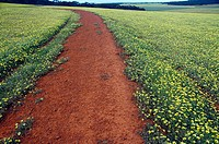 Red earth path through yellow daisies