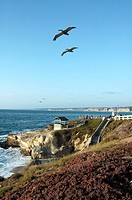 Seabirds flying over the cliffs, La Jolla, California