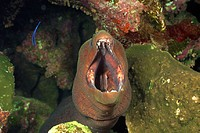 Yellow-margined moray eel hiding in soft corals. Red Sea