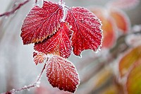 close up of iced leaves of wild rose