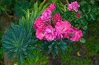 Pink rosebush flowers and Euphorbia characias plants garden. Britanny. France.