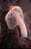 Bridal veil mushroom