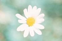 Flower,Marguerite Daisy,Leucanthemum