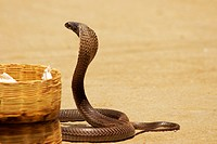 Side profile of a cobra, Pushkar, Rajasthan, India