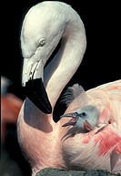 Chile Flamingo , Phoenicopterus ruber chilensis , South America , Chile , adult with 8 days old chick feeding
