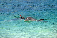 Bottle-nosed Dolphin , Bottle Nosed Dolphin , Bottle Nose Dolphin , Tursiops truncatus , Roatan , Honduras , Caribbean