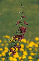 Penstemon , Penstemon spec. , Sonora Desert , Arizona , USA , America , bloom