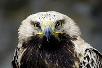 Imperial Eagle , Aquila heliaca adalberti , Europe , Spain , adult Portrait