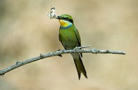 Swallowtailed Bee Eater , Merops hirundineus , Kalahari , Kgalagadi National Park , South Africa , Africa , adult with prey