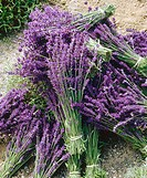 Harvested lavender (Lavandula) cut and bundled. Sequim. Clallam County. Washington. USA