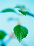 Lemon mint (Monarda citriodora), close up (focus on leaves)