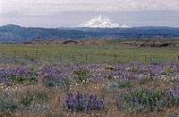 Wildflowers near Mount Hood