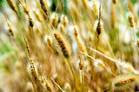 Close-up of stalks of wheat, San Diego, California, USA