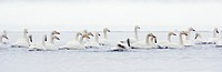 Japan, Hokkaido, Lake Kussharo, whooper swans (Cygnus cygnus) on lake