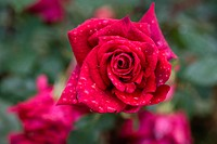 England, London, Richmond-Upon-Thames, rose and dew drops, close-up