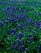 Field of Texas Bluebonnets