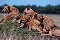 Lionesses (Panthera leo) sitting and watching with it´s cub