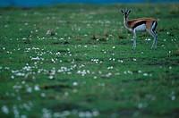 Thomson´s gazelle (Gazella thomsonii), Masai Mara, Kenya