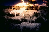White horse galloping in grass at sunset