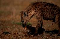 Spotted hyena (Crocuta crocuta) nuzzling its pup, side view, Masai Mara N.R, Kenya